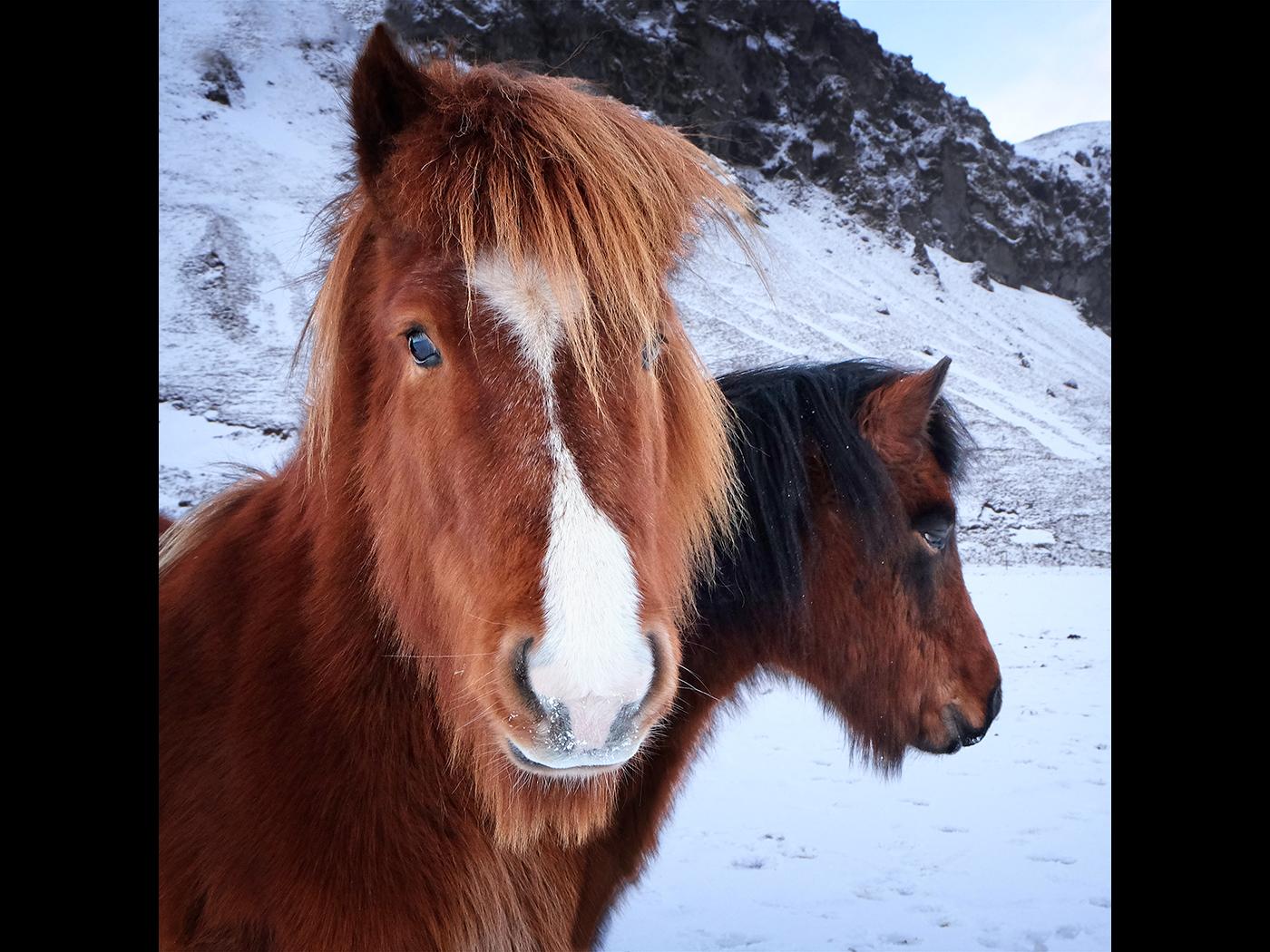 Icleandic Horses5sqr
