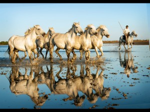 Carmargue Horse Reflections4a