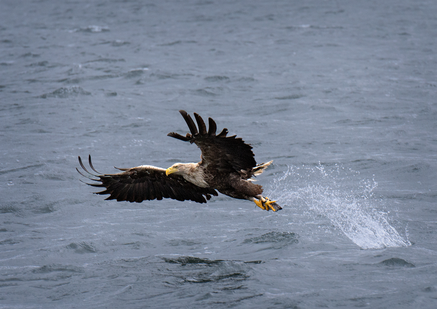 sea-eagle-snatching-fish-2