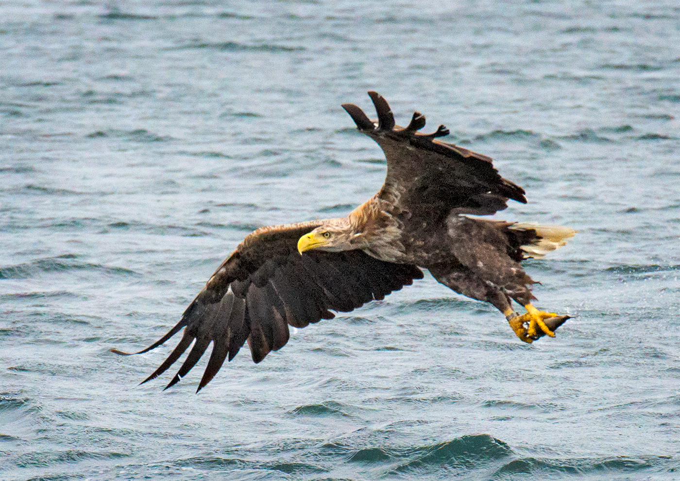 sea-eagle-fliying-with-fish